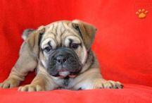English Bulldog/Puggle Pups
