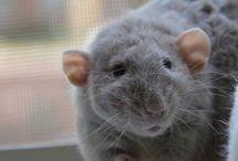Szczury / <3