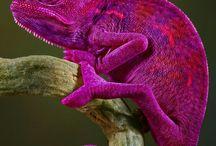 chameleoniky