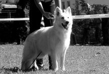 white swiss shepherd puppy / WE EXPECTING PUPPIES OCTOBER 2016 DZSEMIL X WILMA