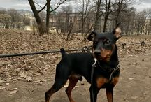 My dog Rover / Zwergpinscher