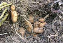 Potato growing