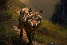 wolf / wolfs