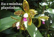 cattleya guttata / (mudança de cor)