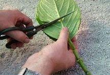 grow haydrangia