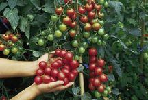 paradicsom termesztés
