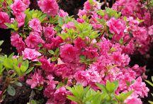 Azalie i rododendrony / o kwitnących krzewach azalii i rododendronów