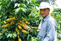 Colombian Coffee Regions / The wide coffee plantations of the Western Andes mountain range in the South of Medellín as well as the sugar cane plantations in South Colombia are fascinating destinations where you can learn about the whole production cycle in an absolutely authentic surrounding.