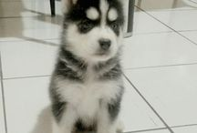 Jual Anjing Siberian Husky Flip Flop Eyes