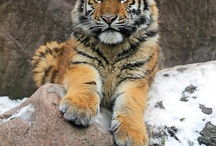 Tigers / Wallpapers and backgrounds for Facebook & Twitter with Tigers, etc.