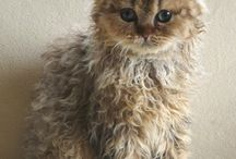 Selkirk Rex kittens and cats