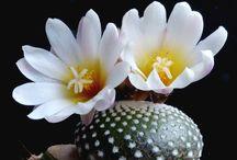 Blossfeldia