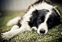Border Collies & Australian Shepherds / My most loyal companions.... Proverbs 20:6  Many will say they are loyal friends, but who can find one who is truly reliable? / by Lora Dasero