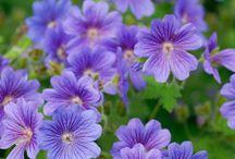 geranium, näva / Släktet näva,geranium för trädgårdsodling.