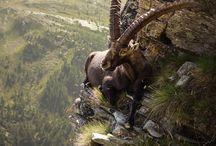 animaux montagne