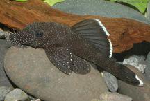 FISH...Ancistrus