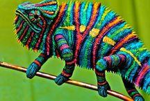 állatok kaméleon