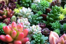 Sedums and Succulents / There are so many things one can do with this amazing group of plants other than just plant in the ground. hardy and tropical varieties here for inside and outside enjoyment