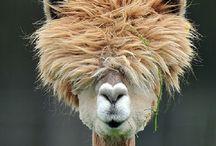 Alpacas & Llamas / Look at these fun Alpacas and Llamas!