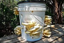Oyster mushroom-Mantar
