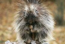 Animals   ( Porcupines )
