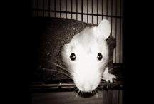 Rats / Lord Farquaad