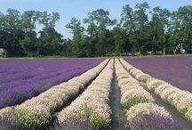2017 Lavender by the Bay Bloom