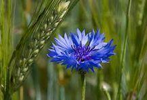 sinised lilled