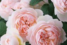 Прованские розы