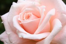 rosa grande