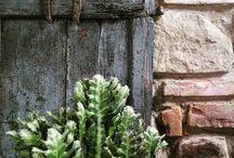 euphorbia / succulent, cactus, plants, garden, giromagi,