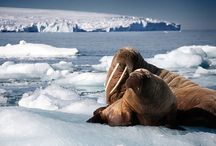 Walrus and seals.