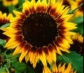 J.C. Sunflowers
