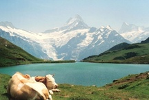 HAPPY COWS / by Jamie VanZuuk