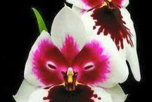 Orkideler / Orkideler