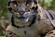 Clouded Leopard / Nebelparder