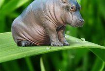 Rhinos... Hippos...