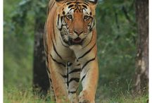 Kanha national park / A journey in kanha national park will give so much unforgettable moments.