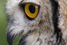 Danexa's owls
