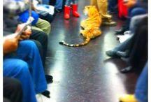 Tigers in Public