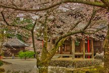 Cherry Blossoms at Kokawa dera, Wakayama-ken, Japan. / Founded by a hunter, Ōtomo no Kujiko (大伴孔子古), in 770, Wakayama's Kokawa-dera Temple (粉河寺) is still maintained by the hunter's descendants. It is the third temple in the Saigoku Kannon pilgrimage. Kokawa dera (粉河寺) complex was reduced to ashes during battles of Hideyoshi's campaign into the Kii area in 1585. At that time it was an important monastery with over 500 priests in training. Yoshimune Tokugawa (徳川 吉宗) rebuilt the Hondō (本堂) in 1720 and heavily patronised the temple in his life.