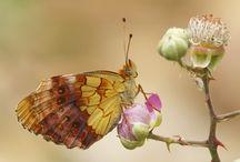 Butterflies - Fritillaries - Parelmoervlinders