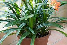 Clivia best indoor plants