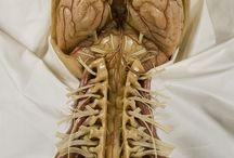 인체내부(장기&근육)