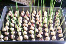 Cultivar alho