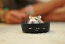 Roborovski hamsters / Dedicated to my Robo's Charlie and Chocolate <3