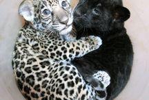 baby jaguars
