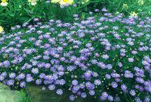 Australian native plants / Garden