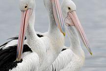 Art - Pelicans