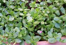 ILOCANO herbs